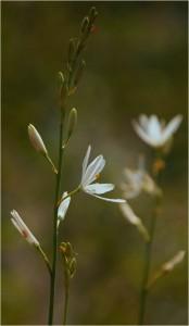 Traubige Graslilie -Anthericum liliago-
