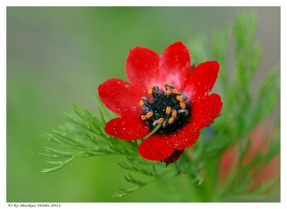 """""""Röschen rot"""" Von  Markus Walti, Lizenz: Dieses Bild unterliegt dem Urheberrecht von Markus Walti. This picture © by Markus Walti."""