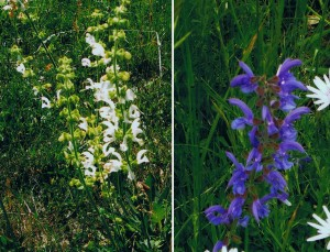 Wiesensalbei -Salvia pratensis- (blau/weiß)